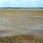 Бурые водоросли захватывают побережье Флориды